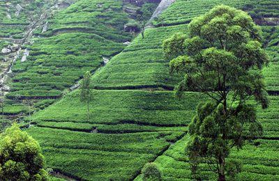 Tea_plantation_near_Kandy,_Sri_Lanka